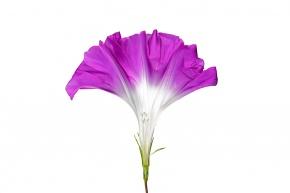の 花 つくり アサガオ の