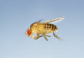 Drosophila | Corvet Photo Agen...